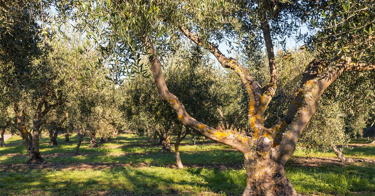 Zeytin cenneti Edremit'i gezin